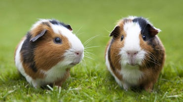 How Do You Tell Difference Between Female and Male Guinea Pigs?