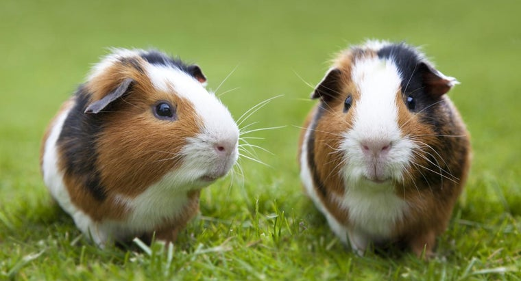 tell-difference-between-female-male-guinea-pigs