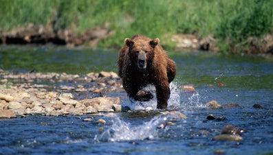 How Fast Can a Bear Run?