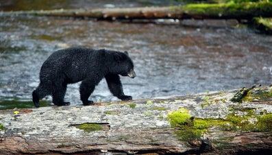 How Fast Does a Black Bear Run?