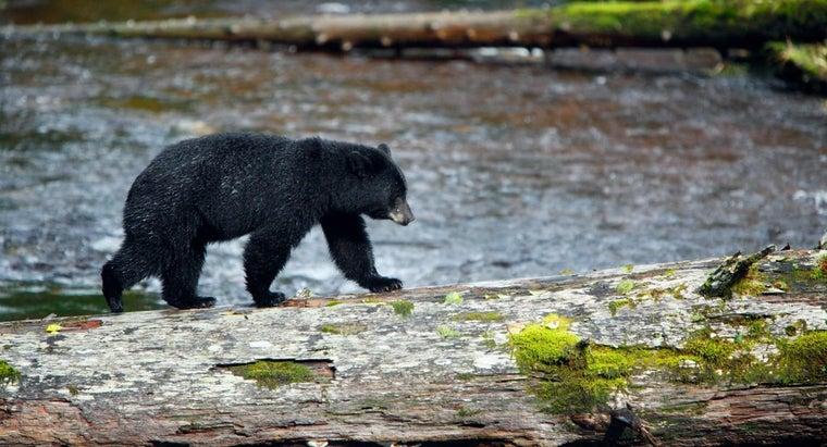 fast-black-bear-run