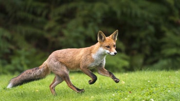 How Fast Can a Fox Run?