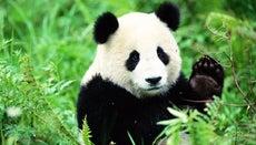 How Fast Can a Panda Bear Run?