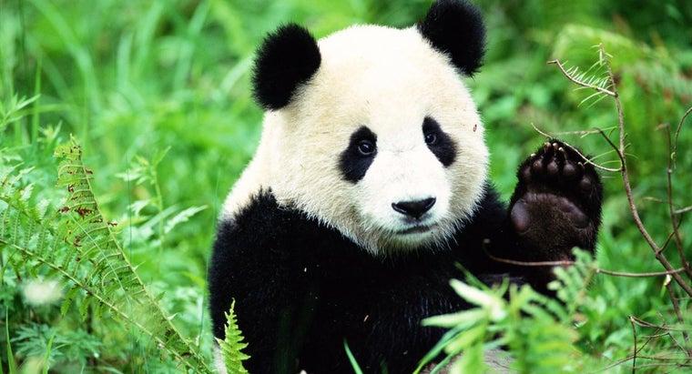 fast-can-panda-bear-run