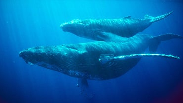 How Long Can a Whale Hold Its Breath?