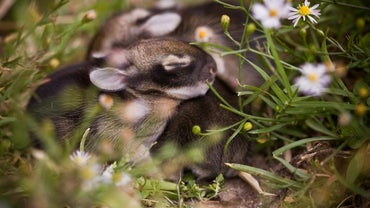 How Long Do Baby Rabbits Stay in the Nest?