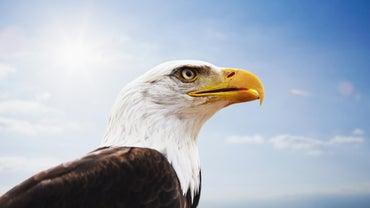 How Long Do Bald Eagles Live?