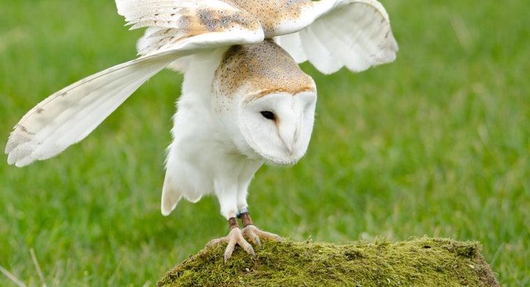 long-barn-owls-live