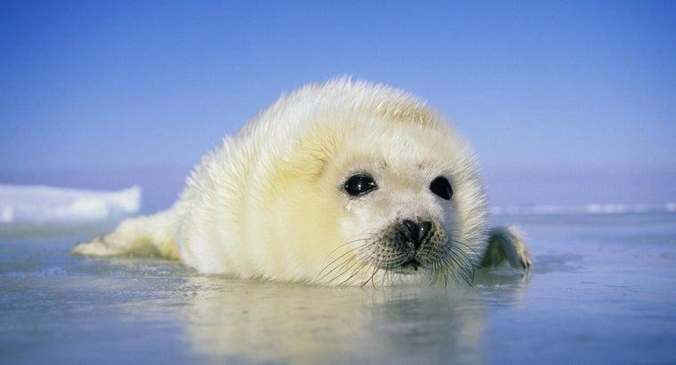 long-harp-seals-live