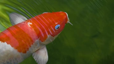 How Long Do Koi Live?