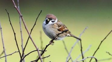 How Long Do Sparrows Live?