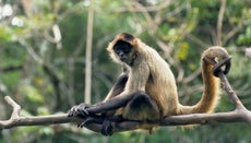 How Long Do Spider Monkeys Live?