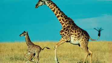 How Long Does a Baby Giraffe Stay With Its Mother?