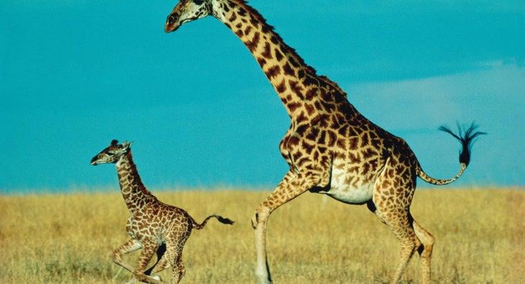 long-baby-giraffe-stay-its-mother