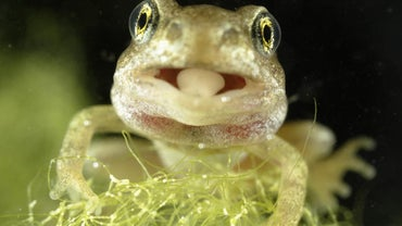 How Long Is a Frog's Tongue?