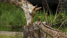 How Long Is a Giraffe Pregnant?