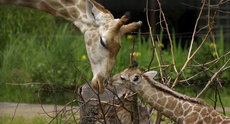 long-giraffe-pregnant