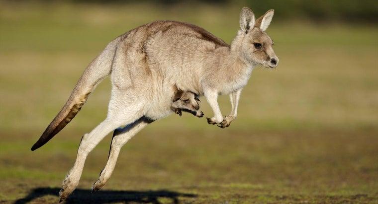 long-kangaroo-pregnant