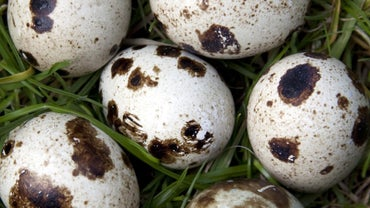 How Many Eggs Does a Quail Lay?