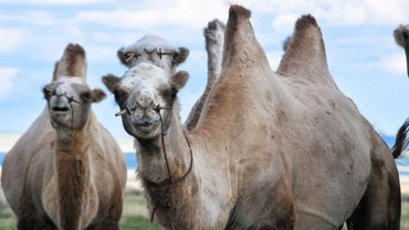 How Many Humps Does a Camel Have?