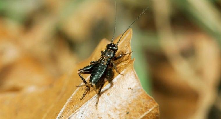 many-legs-cricket