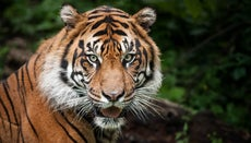 How Many Tigers Are Left in the World?