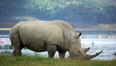 How Many White Rhinos Are Left in the World?