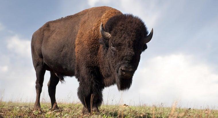 much-buffalo-weigh