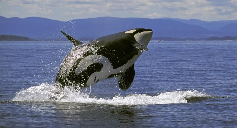 much-killer-whale-weigh