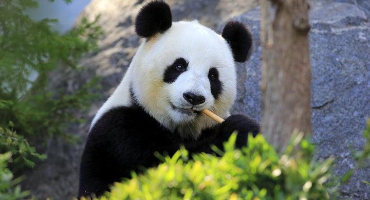 much-panda-weigh