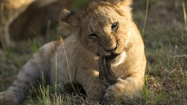 How Often Do Lions Eat?