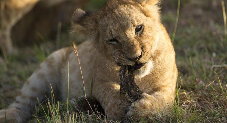 lions-eat