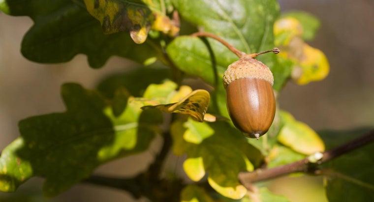 oak-trees-produce-acorns