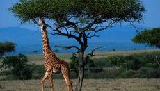 How Tall Can a Giraffe Get?