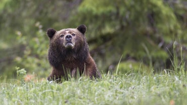 How Tall Is a Grizzly Bear?