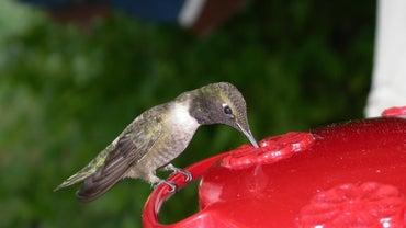 What Do Hummingbirds Eat?