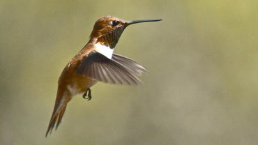 Where Do Hummingbirds Live?