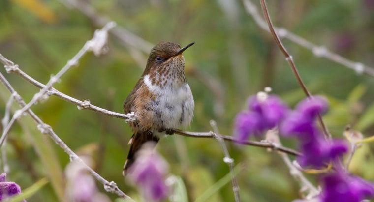 hummingbirds-migrate