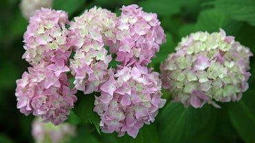 Are Hydrangeas Poisonous to Dogs?