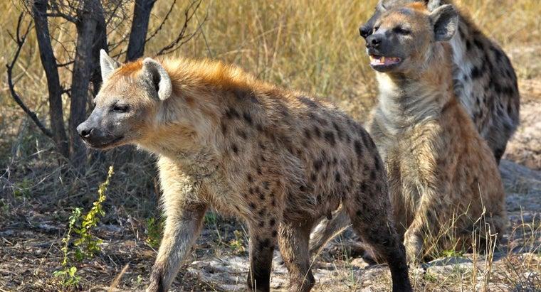 hyena-s-predators