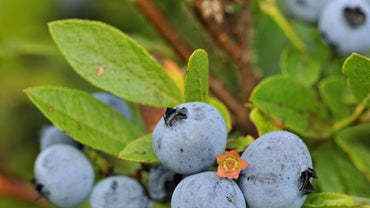 How Do You Identify a Blueberry Bush Leaf?
