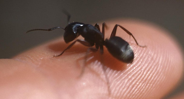identify-carpenter-ants