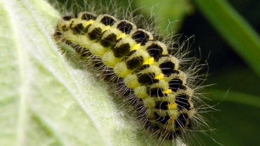 How Do You Identify a Caterpillar?
