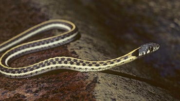 How Do You Identify the Garter Snakes of Missouri?