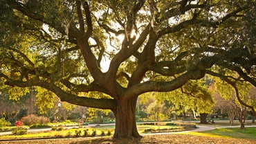 How Do You Identify Oak Tree Types?