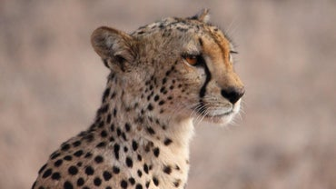 What Is Included in a Cheetah's Diet?