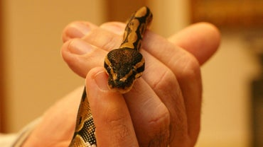 What Are Some Interesting Facts About Ball Pythons?