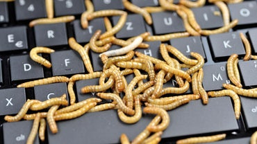 What Are Some Interesting Facts About Mealworms?