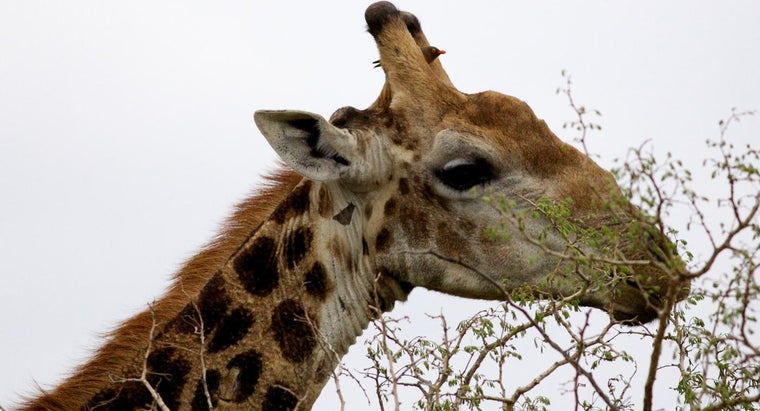 interesting-giraffes