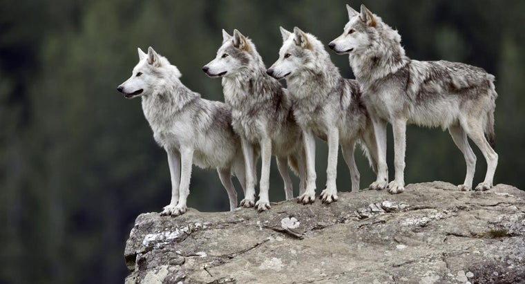 interesting-grey-wolves